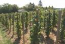 Idén kétszer kérhetik a szőlőtermesztők a szerkezetátalakítási támogatást