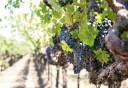 Tavaszi teendők a szőlőben, a házikertben