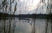 A mi hattyúink: négy fiókával gyarapodott a Csónakázó-tónál élő madárcsalád