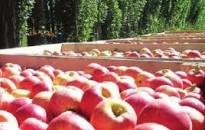 Elindult a magyar alma fogyasztását és vásárlását ösztönző kampány