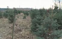 Nyugat- és Dél-Dunántúlon születik a magyarországi karácsonyfák 85 százaléka