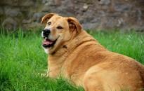 Az elhízott kutyák rövidebb életűek