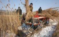 A túl enyhe tél nehezíti a balatoni nádaratást