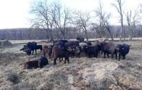 Bivalyok rendezik a legelőt és a nádast a Kis-Balaton mellett