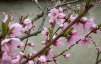 Még nem késő védekezni a monília ellen a meggy és őszibarack fáknál
