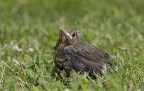 Tilos hazavinni a talált madárfiókákat