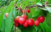 A sok csapadék miatt különösen oda kell figyelni a zöldségek és a gyümölcsösök növényvédelmére