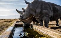 Így búcsúzik a Földünk utolsó két északi fehér orrszarvúja