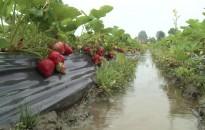 FruitVeB: jelentős kárt tett az eső a szabadföldi szamócatermésben
