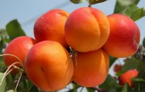 Az átlagostól jobb kajszibarack és közepes őszibarack termés várható idén, olcsóbb lehet a termés a tavalyinál