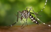 Magyarországon is megjelent az ázsiai tigrisszúnyog