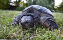 Az utcán találtak egy kifejlett aligátorteknőst Pethőhenyén