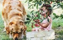 Kedvenc bogyós gyümölcseink, a cseresznye és a meggy