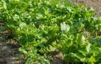 Bőrgyulladást okozhatnak az ernyősvirágzatú növények