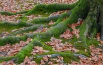 A fák nem hagyják meghalni egymást, ha azzal az erdő veszélybe kerülne