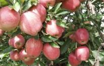 Agrárkamara: gyenge lesz az almatermés, erős lesz a kereslet
