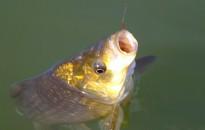 Évente egymilliárd forint származik az állami horgászokmányok értékesítéséből