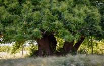 Zengővárkonyi szelídgesztenye lett idén az Év fája