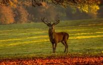 A magyar erdők királya