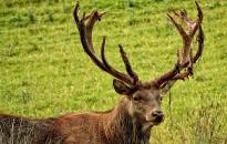 Felhívás erdőjárókhoz – Szeptemberben intenzív szarvas-vadászatot folytat a Zalaerdő Zrt.