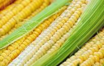 Az idén az átlagosnál alacsonyabb lehet a csemegekukorica termés
