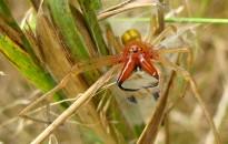 Tévhitek és tények Magyarország pókjainak marásáról, veszélyességéről