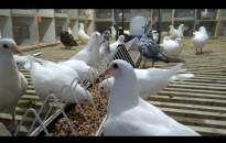 Haszongalambok vásárlására biztosít támogatást az Agrárminisztérium