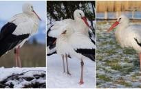 A klímaváltozás hatására egyre több gólya marad itthon télen