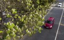 Virágzó vadgesztenyefa Nagykanizsán