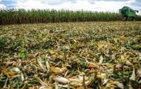 A betakarítást nehezíti, a vetések fejlődését segíti a csapadékos időjárás Zala megyében