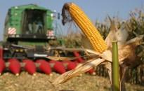 Csaknem nyolcmillió tonna az idei kukoricatermés