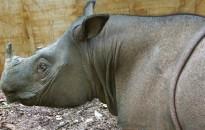 Kimúlt az utolsó szumátrai orrszarvú Malajziában