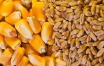 Zalában az országosnál magasabb a búza és a kukorica termésátlaga