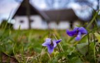 Virágzik az ibolya Kanizsa környékén