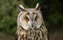 Az erdei fülesbagoly lett a 2020-as év madara, az év hüllője pedig a keresztes vipera