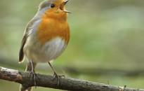 A madárénekek is divatszerűen változhatnak