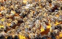 Méhészeti egyesület: össze fog dőlni a mezőgazdaság a méhészek nélkül