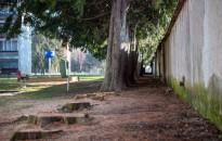 Ültetési hiba miatt ritkították meg a Munkás utcai garázsok melletti tujasort