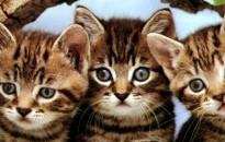 Nem bolhányi hiba: Több cicáknak szánt élősködőirtó is elbukott a Nébihnél