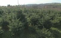 Már vágják Surdon a fenyőfákat karácsonyra
