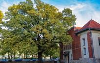 Február végéig lehet szavazni az Európai év fája magyar jelöltjére