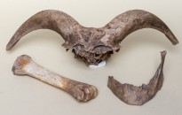 Árulkodó állatcsontok a 17. századból