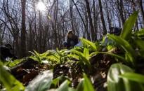 Már szedik a medvehagymát Zala megyében
