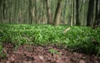 Fokhagymaillat az erdők mélyén