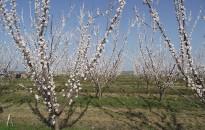 A március végi fagy a barackfák virágzásában okozta a legnagyobb kárt