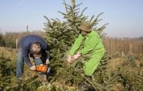 Karácsony - A fenyőfa árak várhatóan nem változnak idén