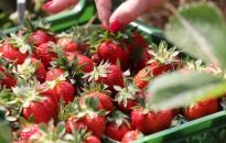 Májusban várhatóan csökken a szamóca ára