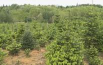 Megvonták a területalapú támogatást a karácsonyfa-termesztőktől