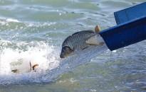 Befejeződött az országos rendkívüli haltelepítés az állami tulajdonú horgászvizeken