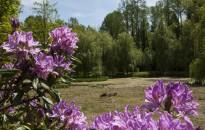 Egy falatnyi Tündérország dél-Zalában –  Virágzik a rododendron a Budafai Arborétumban